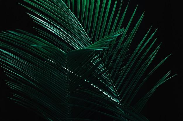 Palm tropische bladeren in de schaduw op een zwarte donkere achtergrond.