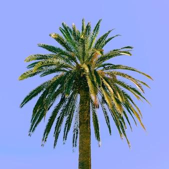 Palma in het blauw. tropisch minimaal