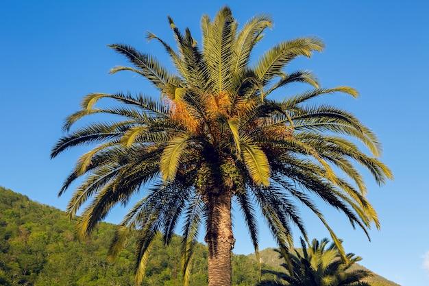 Palmbomen bij zonsondergang in een park in abchazië