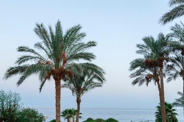 Palmbomen op voor zonsondergang tegen de achtergrond van de avondlucht.