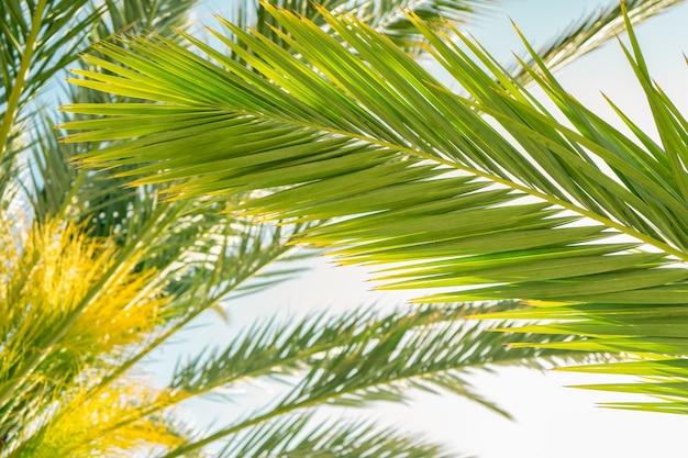 Palmbomen tegen blauwe lucht, kokospalm, zomerboomachtergrond