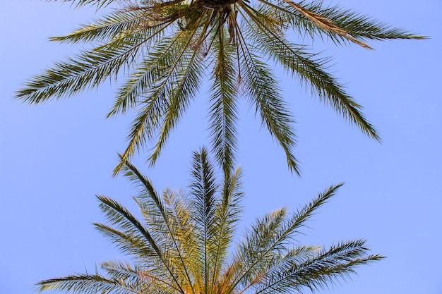 Palmbomen tegen de blauwe hemel. onderaanzicht