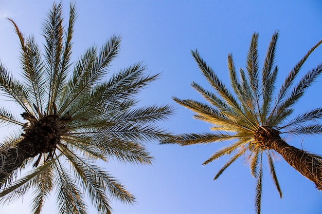 Palmbomen tegen de blauwe hemel.