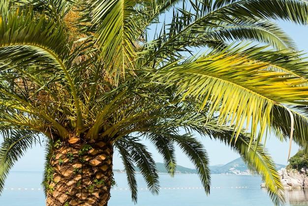 Palmboom boven (close-up) op zeekust (montenegro, budva)