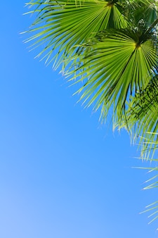 Palmboom groene bladeren op heldere blauwe hemelachtergrond met kopie ruimte