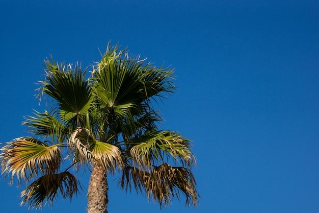 Palmboom met een blauwe zonnige hemel