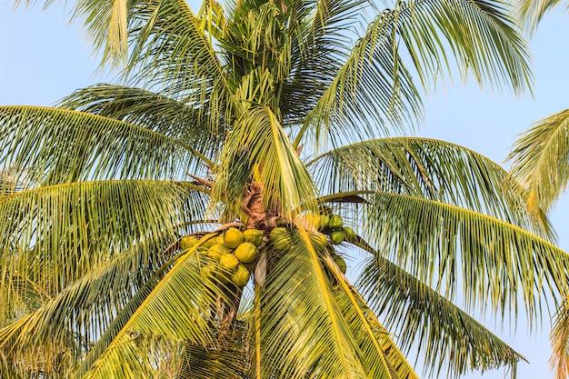Palmboom met kokosnoot