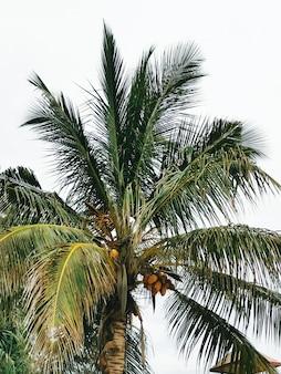 Palmboom met kokosnoten, een onderaanzicht, thailand