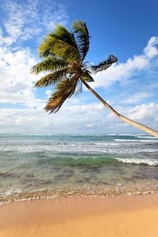 Palmboom op een caribisch strand in de zomer