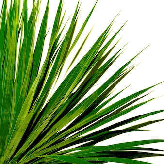 Palmboom tegen een witte muur. minimaal