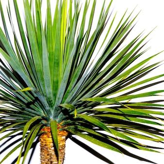 Palmboom tegen een witte muur. minimale stijl