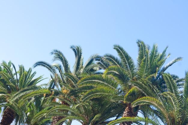 Palmboombladeren met zonneschijn op duidelijke blauwe hemelachtergrond,