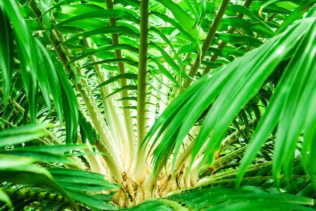 Palmdoorn op groen blad op tak van palm in de tuin