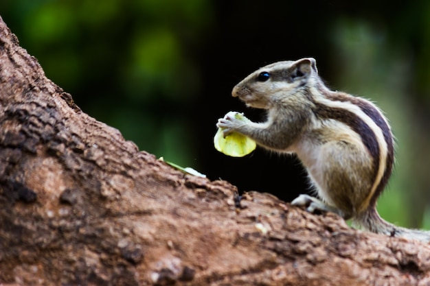 Palmeekhoorn of knaagdier of ook bekend als de aardeekhoorn die op de boomstam zit