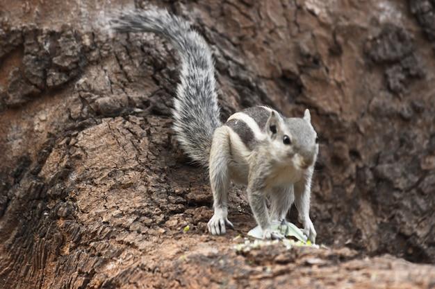 Palmeekhoorn of knaagdier of ook bekend als de aardeekhoorn die stevig op de boomstam staat