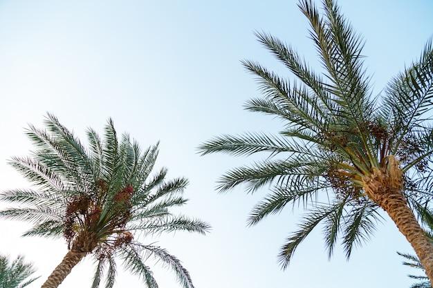Palmtakken met groene bladeren staan op de achtergrond van de blauwe lucht.
