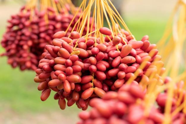 Palmtakken met rijpe dadels