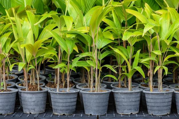 Palmzaailingen in de kwekerij