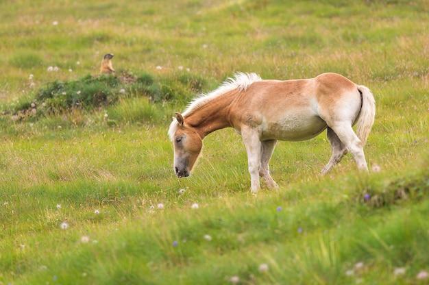 Palomino paard grazen