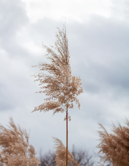 Pampagras bij bewolkte hemelachtergrond