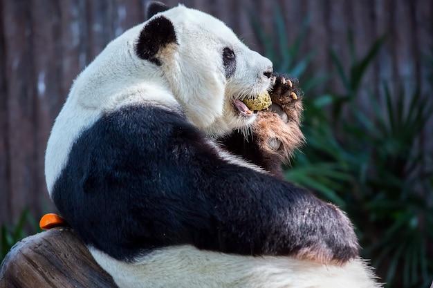 Panda slaapt en eet division