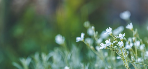Panorama om achtergrondkunst met witte bloemen op te springen. lente, close-up, ondiepe diepten van het veld. weide met lentebloemen in zonnige dag