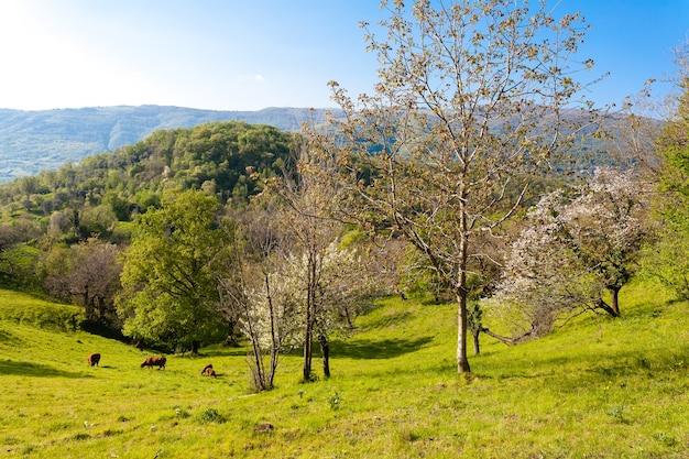 Panorama van kersenbomen op heuvels met groen gras