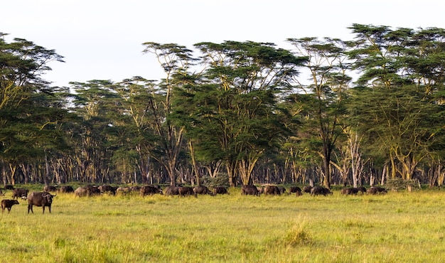 Panorama van savanne. landschap met buffels. nakuru, kenia.