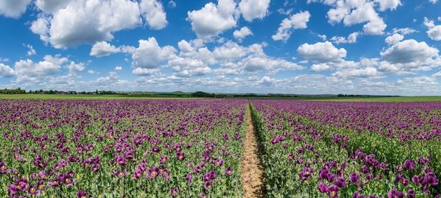 Panorama violet papaver bloem veld met paden, witte wolken op blauwe hemel