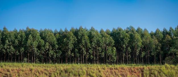 Panoramisch beeld van eucalyptusplantage