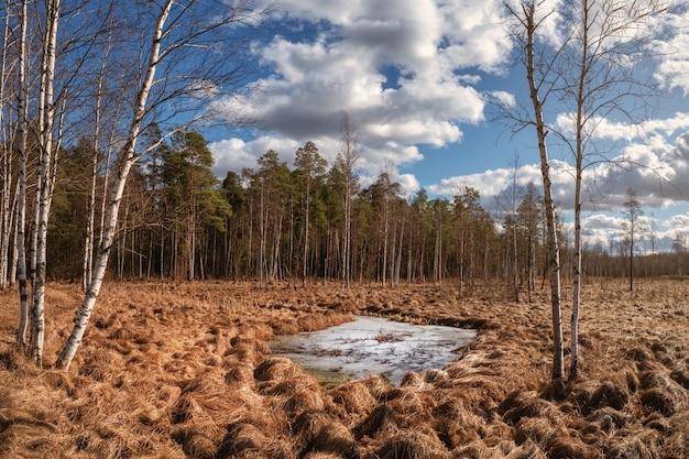 Panoramisch lentelandschap met berkenbomen en een grote bevroren plas in het moeras.