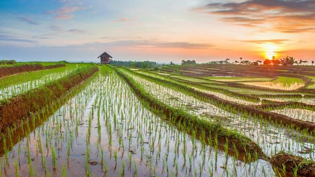 Panoramisch uitzicht op rijstvelden met rijstterrassen gevuld met water met zonlicht in noord-bengkulu