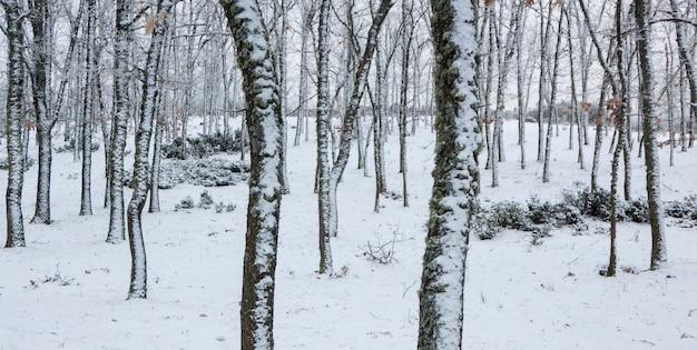 Panoramisch van besneeuwd bos. eiken- en pijnbomen in de winter. in el espinar, nationaal park sierrra de guadarrama, madrid en segovia.