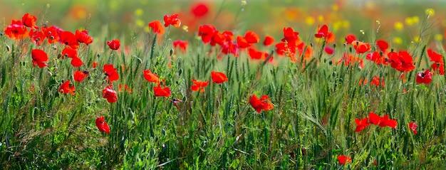 Panoramisch wild klaproos bloeiend veld