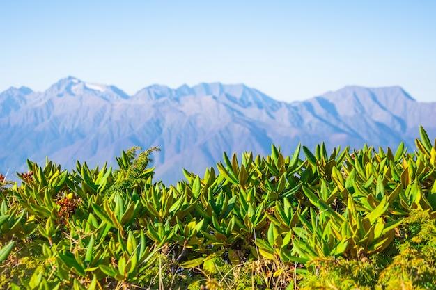 Panoramisch zicht op de bergtoppen en de heldere blauwe hemel, op de voorgrond berg vegetatie gras in focus.