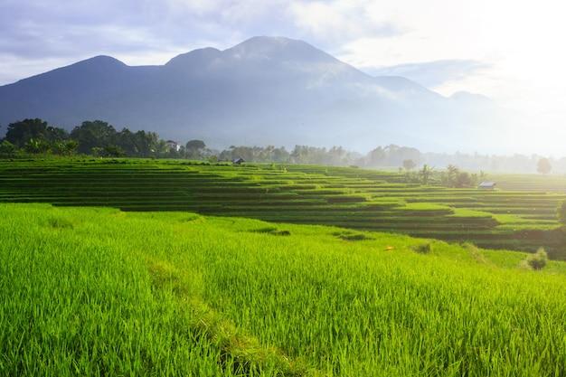 Panoramisch zicht op de ochtendrijst groen met dauw op de bergen van bladheuvels, bengkulu utara, indonesië