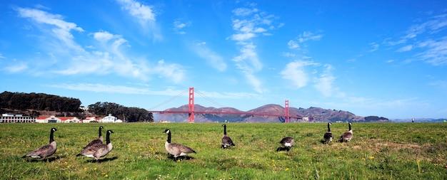 Panoramisch zicht op golden gate bridge met ganzen, san francisco