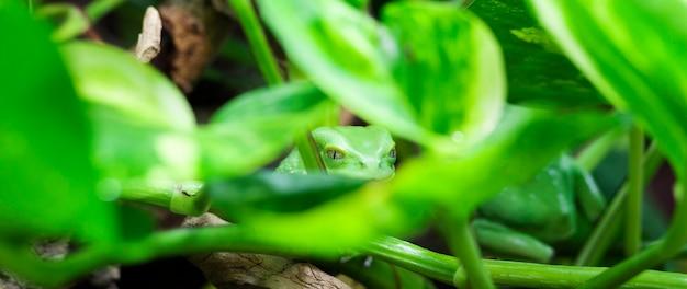 Panoramisch zicht op monkey tree frog