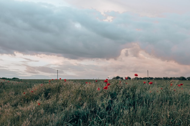 Panoramisch zicht op poopy field op een heuvel met een kleur blauwe lucht glade van rode papavers in de avond natuur
