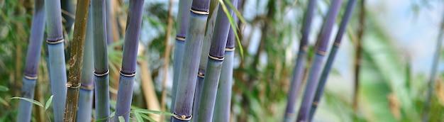 Panoramische groene en blauwe bamboe jungle achtergrond