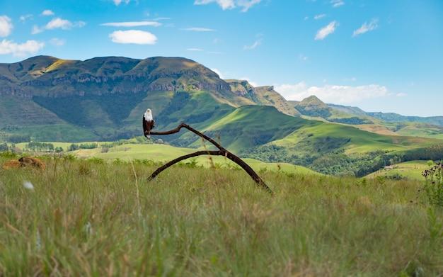 Panoramische opname van een adelaar die op een tak staat