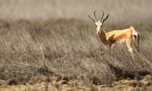Panoramische opname van een gazelle die zich op het met gras begroeide savannevlak bevindt
