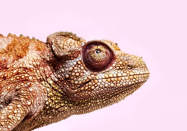 Panterkameleon, furcifer pardalis, van dichtbij tegen wit