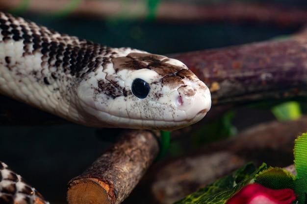 Pantherophis obsoleta of rat snake