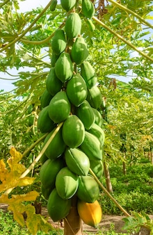 Papajabomen planten in conde paraiba brazilië braziliaanse agribusiness