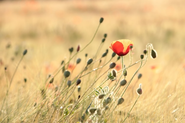 Papaver in het veld bij zonsopgang