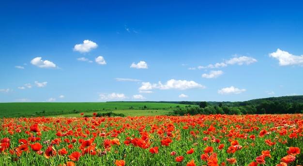 Papaverbloemen tegen de blauwe hemel