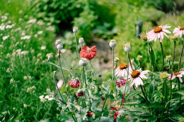 Papaverzaad in een kiem in een weiland met chamomiles en wilde bloemen.