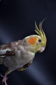 Papegaai valkparkiet close-up op zwarte achtergrond, papegaai valkparkiet