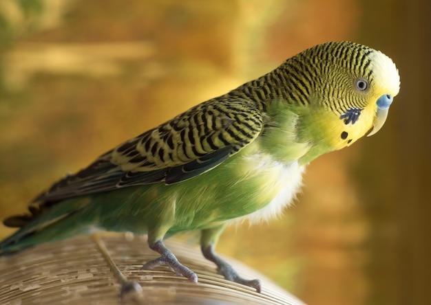 Papegaai zit op kooi. groene dichte omhooggaand van de grasparkietpapegaai zit